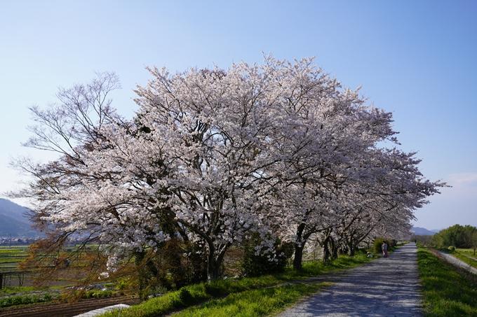 京都_桜_2020_42 大堰川堤防 No29