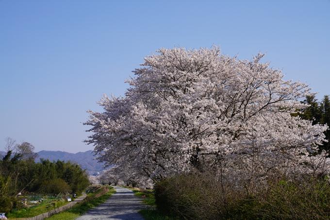 京都_桜_2020_42 大堰川堤防 No33