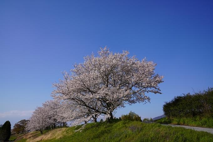 京都_桜_2020_42 大堰川堤防 No35