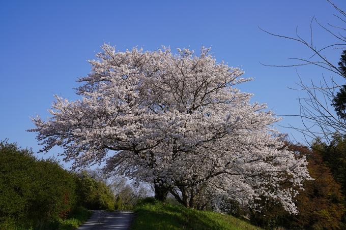 京都_桜_2020_42 大堰川堤防 No36