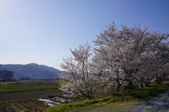 京都_桜_2020_42 大堰川堤防 No37