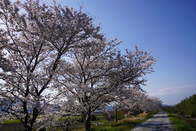 京都_桜_2020_42 大堰川堤防 No38