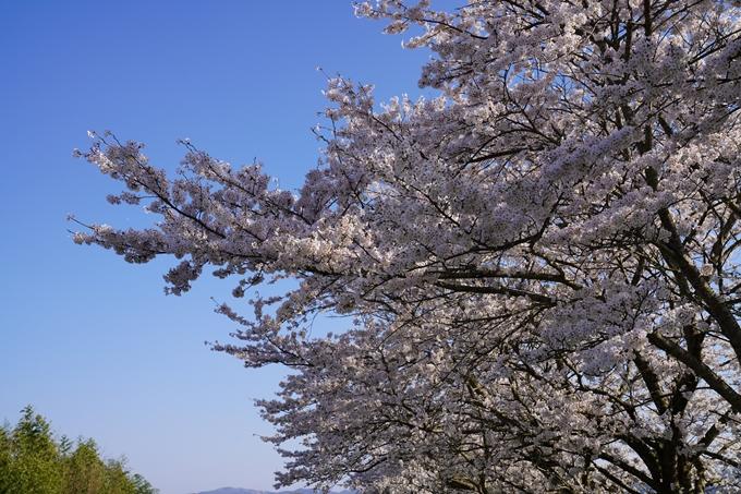 京都_桜_2020_42 大堰川堤防 No41