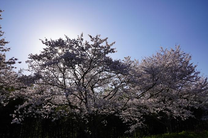 京都_桜_2020_42 大堰川堤防 No45