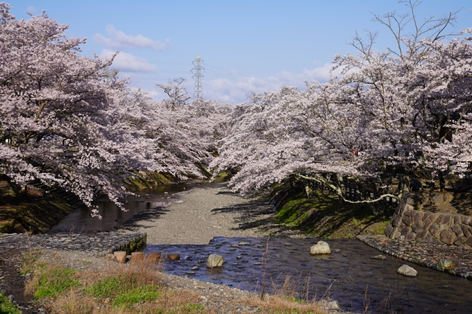 京都_桜_2020_43 七谷川 No8