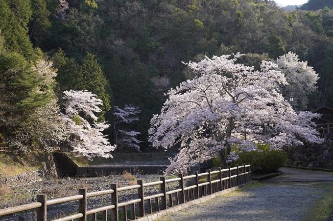 京都_桜_2020_43 七谷川 No10