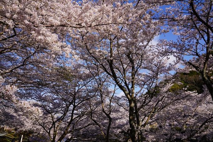 京都_桜_2020_43 七谷川 No12