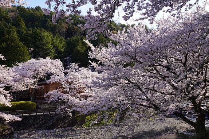 京都_桜_2020_43 七谷川 No13