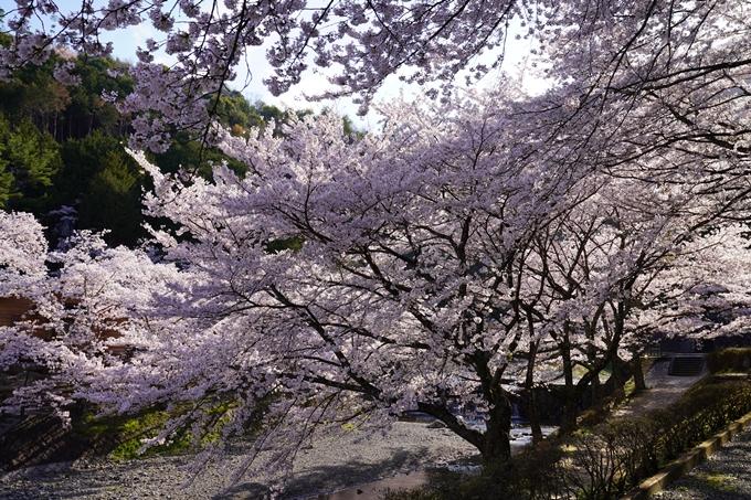 京都_桜_2020_43 七谷川 No14