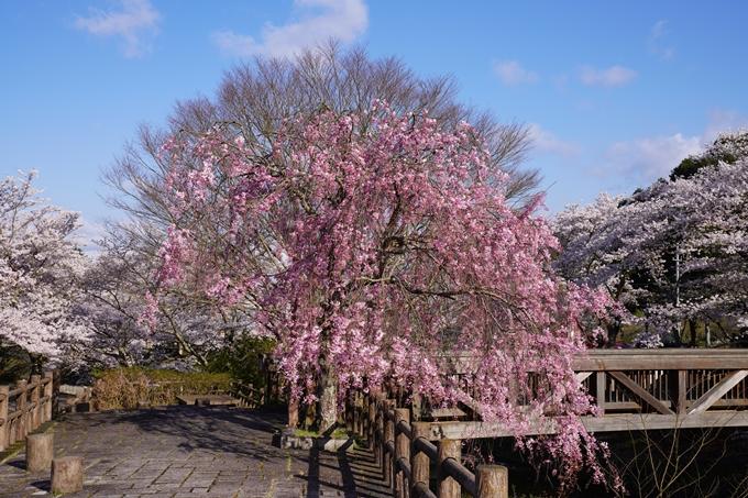 京都_桜_2020_43 七谷川 No18