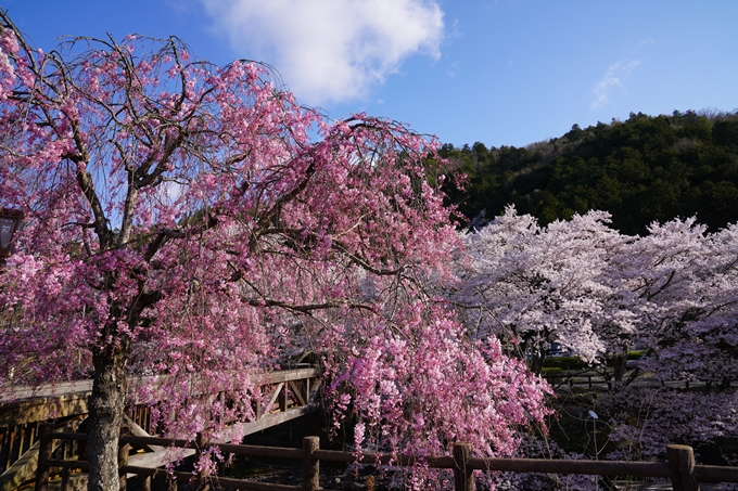 京都_桜_2020_43 七谷川 No19