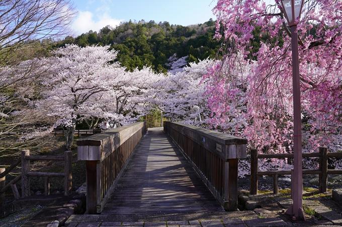 京都_桜_2020_43 七谷川 No20