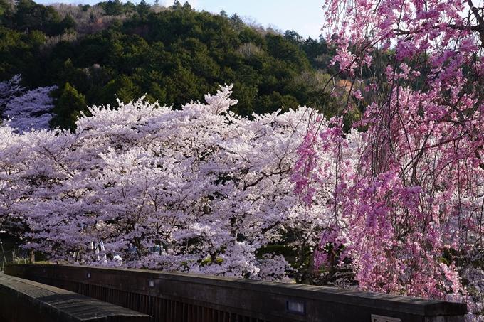 京都_桜_2020_43 七谷川 No21
