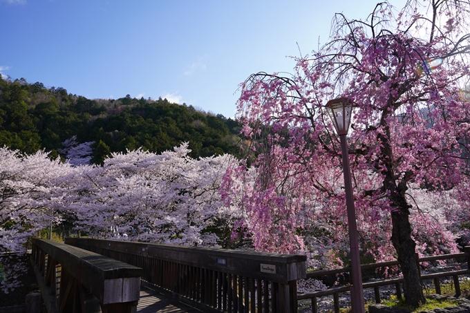 京都_桜_2020_43 七谷川 No22