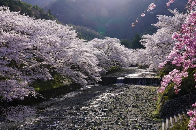 京都_桜_2020_43 七谷川 No23