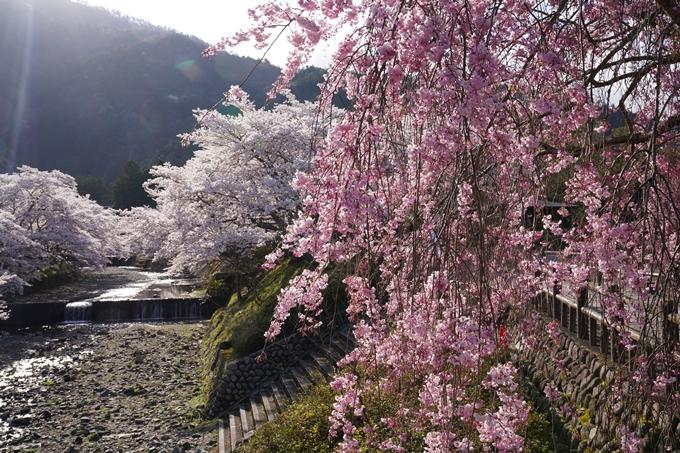京都_桜_2020_43 七谷川 No24