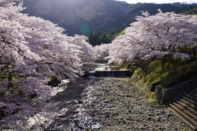 京都_桜_2020_43 七谷川 No25