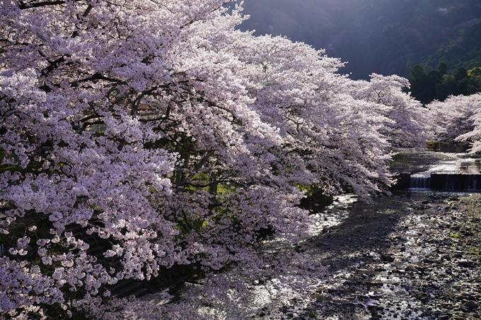 京都_桜_2020_43 七谷川 No26