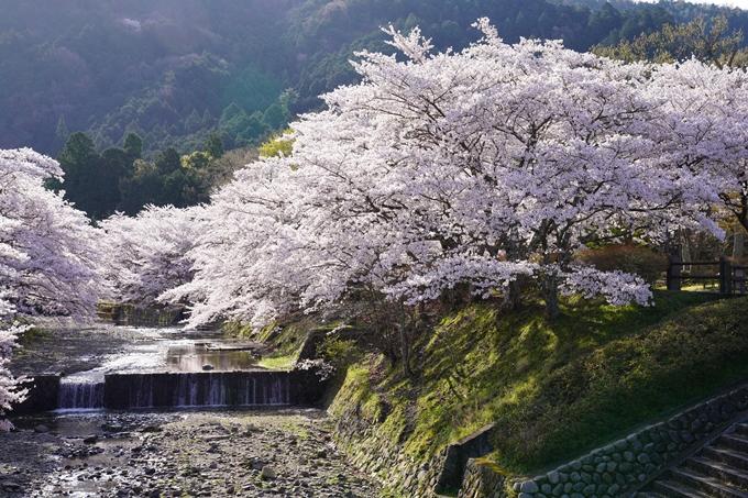 京都_桜_2020_43 七谷川 No27