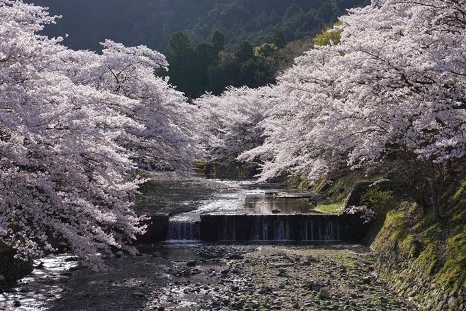 京都_桜_2020_43 七谷川 No28