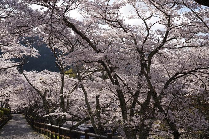 京都_桜_2020_43 七谷川 No29