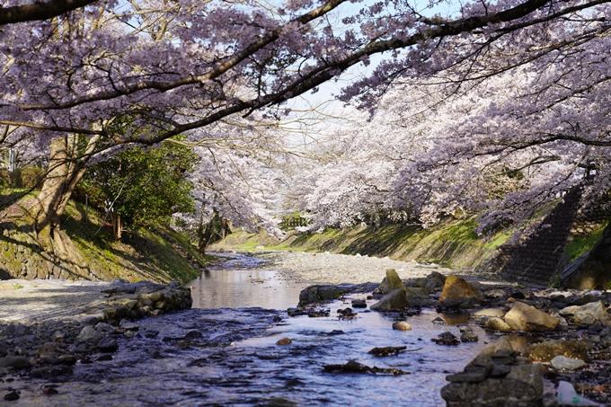 京都_桜_2020_43 七谷川 No33