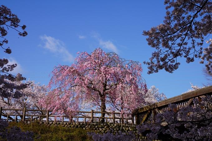 京都_桜_2020_43 七谷川 No34