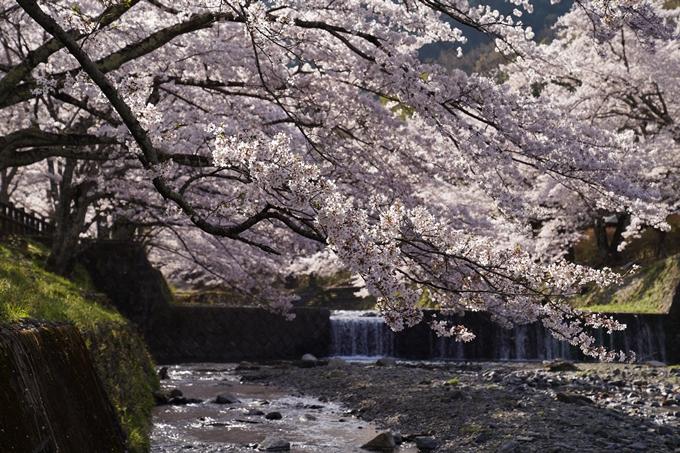 京都_桜_2020_43 七谷川 No35