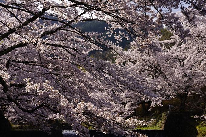 京都_桜_2020_43 七谷川 No36