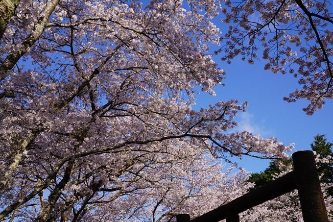 京都_桜_2020_43 七谷川 No37