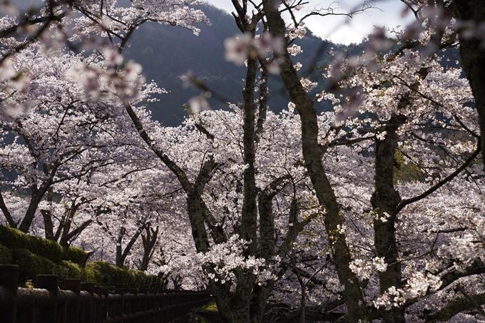 京都_桜_2020_43 七谷川 No38