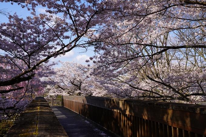 京都_桜_2020_43 七谷川 No39