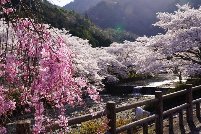 京都_桜_2020_43 七谷川 No40