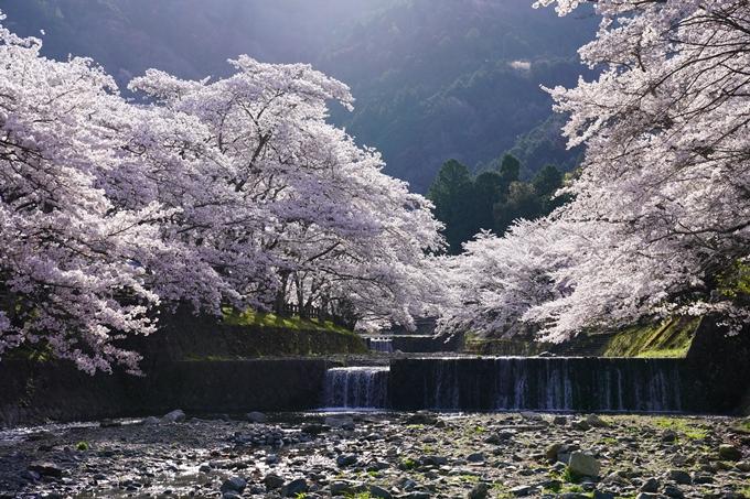 京都_桜_2020_43 七谷川 No41