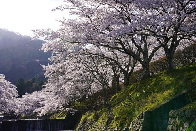 京都_桜_2020_43 七谷川 No42