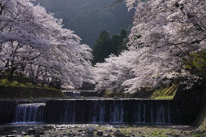 京都_桜_2020_43 七谷川 No43