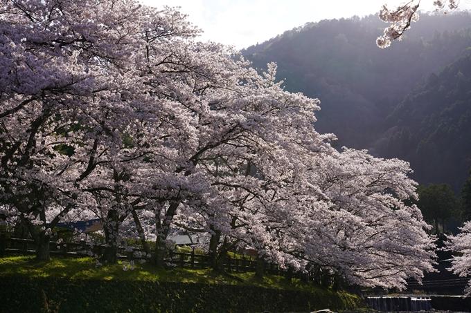 京都_桜_2020_43 七谷川 No44