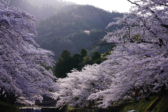 京都_桜_2020_43 七谷川 No45