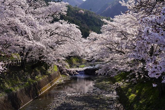 京都_桜_2020_43 七谷川 No46