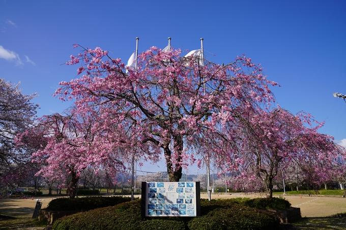 京都_桜_2020_43 七谷川 No50