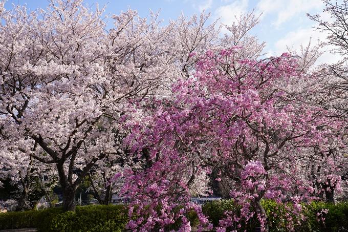 京都_桜_2020_43 七谷川 No52