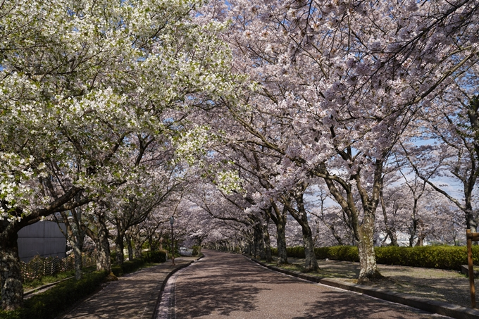 京都_桜_2020_43 七谷川 No54