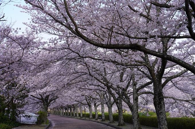 京都_桜_2020_43 七谷川 No55