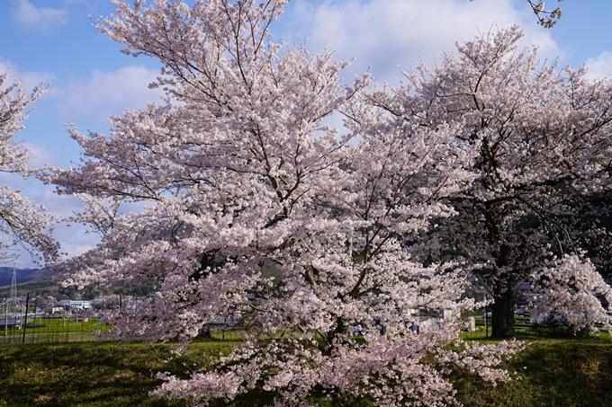 京都_桜_2020_43 七谷川 No56