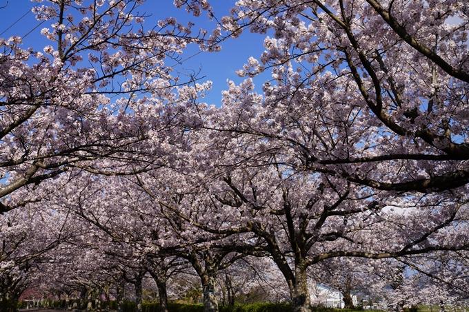 京都_桜_2020_43 七谷川 No57