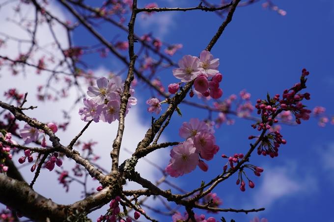 京都_桜_2020_43 七谷川 No60