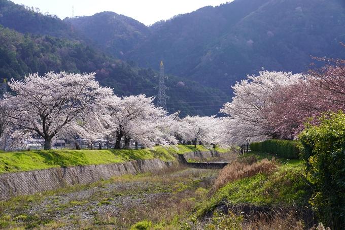 京都_桜_2020_43 七谷川 No63