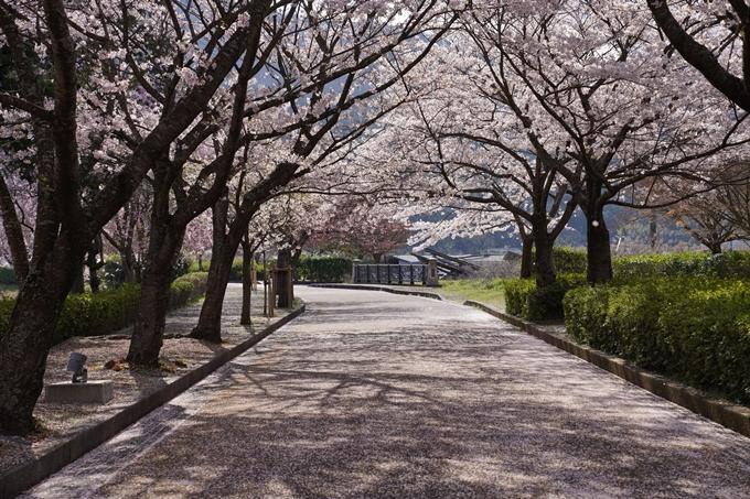 京都_桜_2020_43 七谷川 No66