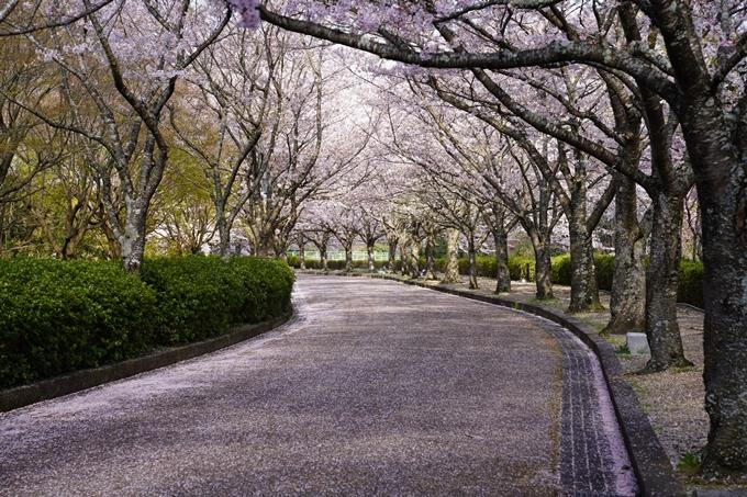 京都_桜_2020_43 七谷川 No67