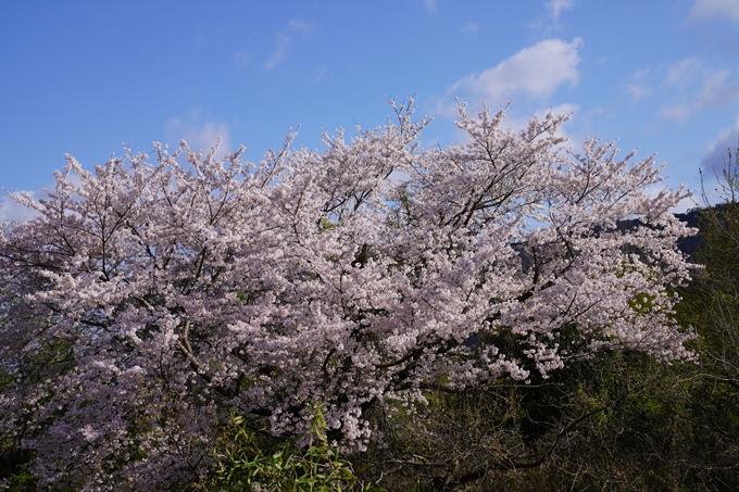 京都_桜_2020_43 七谷川 No68